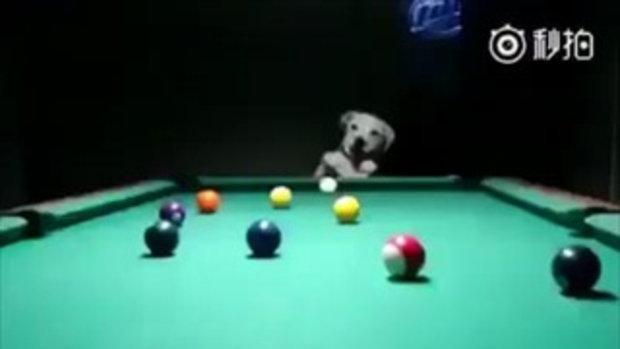 เจ้าตูบเล่น Pool ฝีมือเทพยิ่งกว่าคนอีกนะเนี่ย !!