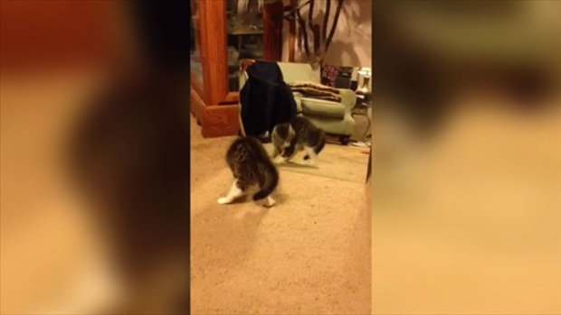 Cute Kitten Fights With Her Reflection