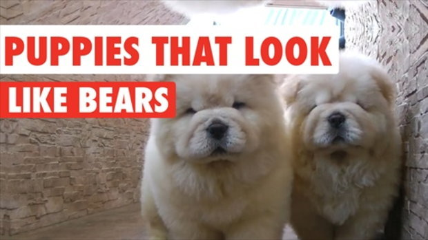 รวมคลิป ประกวดน้องหมาหน้าเหมือนหมี