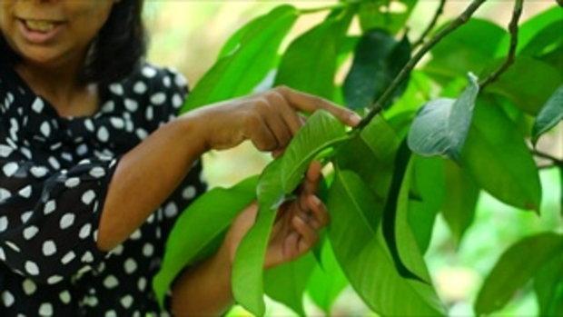 กบนอกกะลา : มังคุด ราชินีผลไม้ ช่วงที่ 4/4 (5 ม.ค.60)