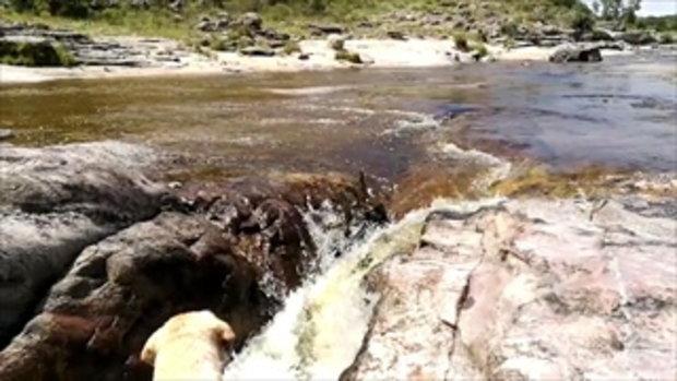 ชาวเน็ตเสียงแตก คลิปหมาไม่ทิ้งกัน คาบไม้ช่วยอีกตัวที่ตกน้ำ