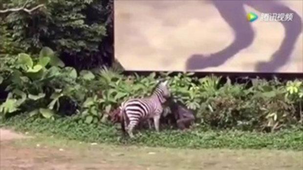 ม้าลายสวนสัตว์จีนคลั่ง กัดแขนเจ้าหน้าที่สะบัดลากกับพื้น โชคดีเจ็บเล็กน้อย