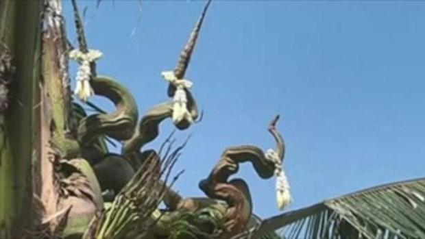 งวดก่อน เลข25ตรงๆ ! วันนี้แตกยอดเพิ่มอีกยอดาวบ้านตีเลขเด็ด ต้นมะพร้าวเเตกยอดคล้าย พญานาค 3 เศียร