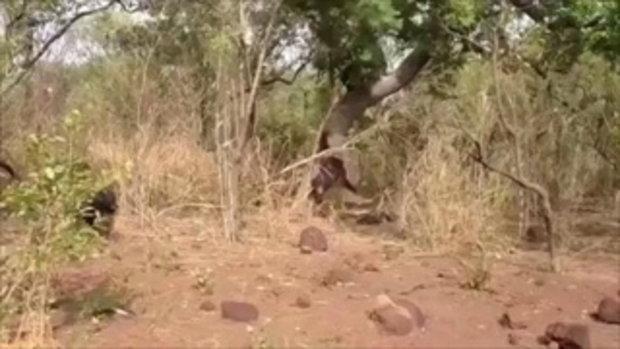 คลิปลิงชิมแปนซีโหดรุมฆ่าจ่าฝูงเก่าตายสยองแล้วกิน