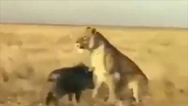 แค้นฝังใจอะ !! หมูป่า หาเรื่อง สิงโต ฉุนหนักมาก ลั่น.. แกทำฉันก่อนนะ