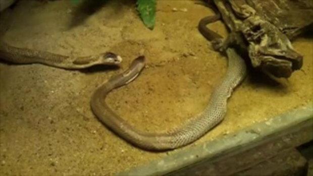 วินาที งูเห่าลอกคราบ ที่สวนสัตว์เขาดินวนา ต้องบังเอิญถึงจะได้เห็น !!