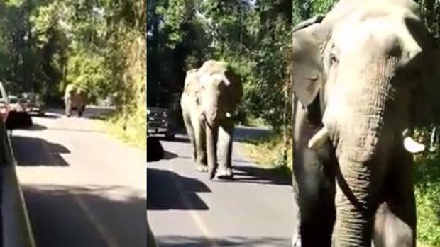 กลั้นหายใจตาม ช้างพลายไอ้ด้วนเดินเฉียดรถกระบะ