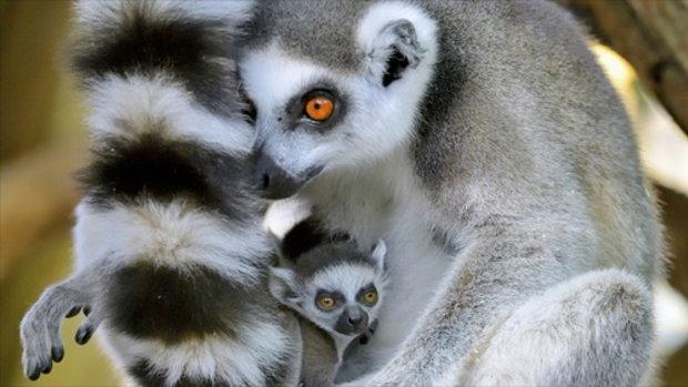 ลีเมอร์ลูกแฝดในสวนสัตว์เวียนนา