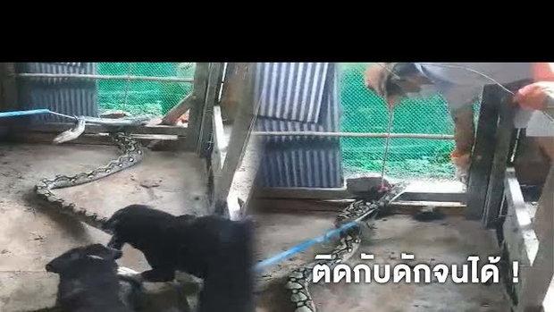 งับไม่ปล่อย ! กู้ภัย 4 ขา ช่วยคนลากงูเหลือมออกจากเล้าไก่