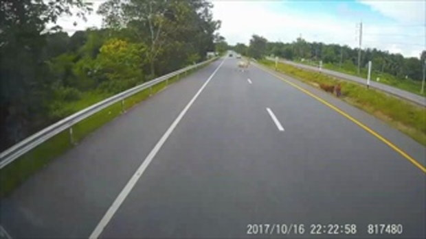 น่าสงสาร!!! รถกระบะพุ่งชนวัวอย่างจัง จนวัวปลิดกระเด็นแถมรถพังยับเยิน