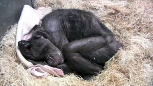 คลิปสุดเศร้า ลิงชิมแพนซี ดีใจที่เพื่อนซี้มาหา ยิ้มกว้างกว่าที่เคย หลังอีก 1 อาทิตย์ตัวเองต้องตายแล้ว