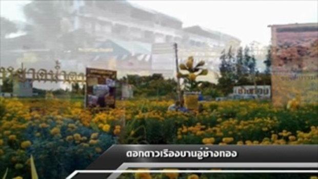 Sakorn News : ดอกดาวเรืองบานสะพรั่ง