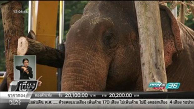 """""""ช้างป่า""""จากคลองชมพูถึงสถาบันคชบาลลำปางแล้ว - เที่ยงทันข่าว"""