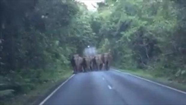 เจอช้างป่าทั้งโขลง !! นักท่องเที่ยวเผชิญหน้าช้างป่าเขาใหญ่ทั้งโขลง น่ากลัว ตื่นเต้น-ประทับใจครบสูตร