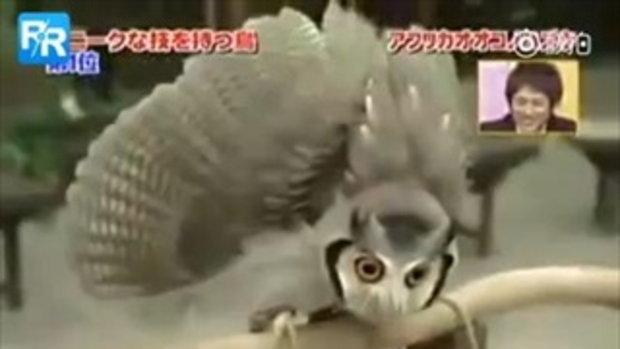 ยิ่งกว่ามายากล นกเค้าแมวญี่ปุ่นเปลี่ยนหน้าได้เมื่อเจอศัตรู