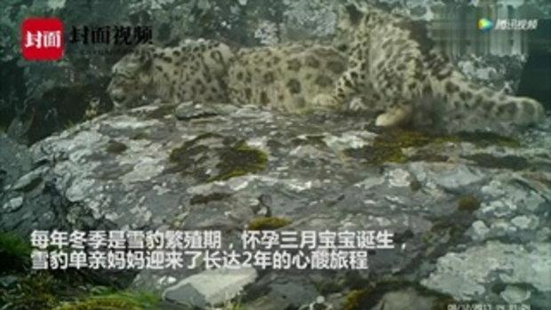 ครั้งแรก กล้องจับภาพเสือดาวหิมะแม่ลูก 4 ตัวในเขตอนุรักษ์ที่เสฉวน