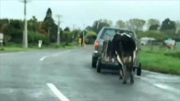 นาทีโดนพลัดพราก แม่วัววิ่งตามลูกของมันที่ถูกจับใส่กรง บีบคั้นหัวใจสุดๆ