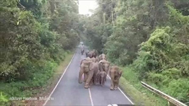 หาชมยาก คลิปโขลงช้างป่าเขาใหญ่ เดินขบวนกลางถนน-ส่งเสียงร้องก้องป่า