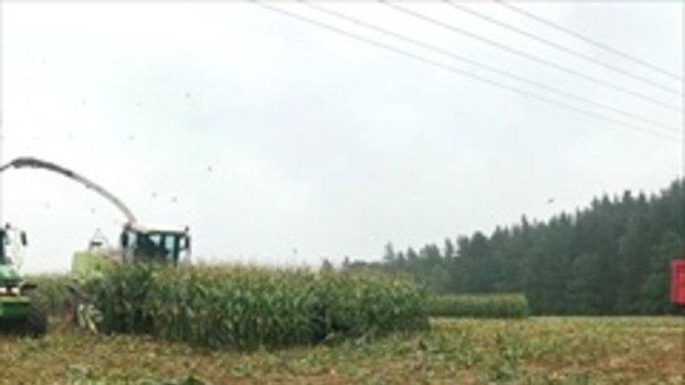 หวาดเสียวนาทีเจ้าของไร่ข้าวโพด ใช้รถเกี่ยว โดยไม่เห็นฝูงหมู่ป่าที่อยู่ด้านใน