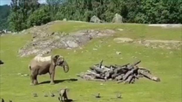 ลูกช้างเสียฟอร์ม !!! วิ่งไล่ฝูงนกสะดุดล้ม โผเข้าหาแม่ช่วยโอ๋