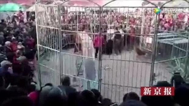เสือคลั่งหลุดกรงคณะละครสัตว์ วิ่งใส่ฝูงชนที่จีน เด็กเจ็บ 2
