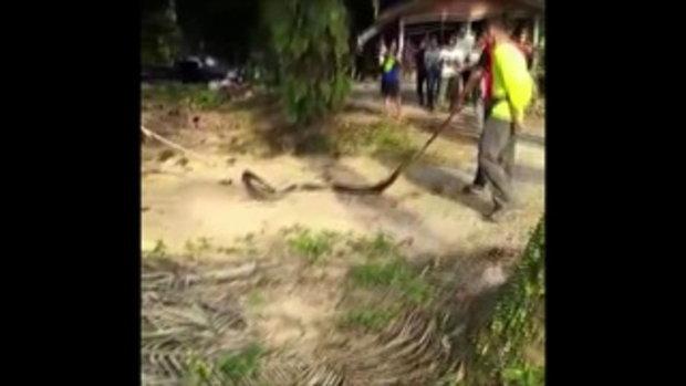 ยายผวาซ้ำ งูจงอางยักษ์ตัวที่ 2 เลื้อยหาคู่ ผู้คนส่องเลข
