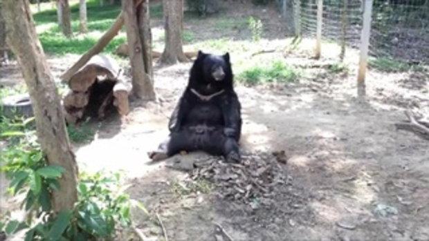 หมีชักกุย