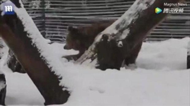 สะเทือนใจ เจ้าหมีเล่นหิมะครั้งแรก หลังถูกจับขังกรง 20 ปี