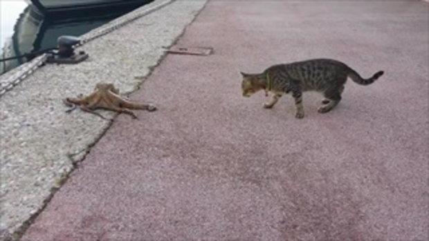 จะเกิดอะไรขึ้น? เมื่อแมวมาพบปลาหมึกยักษ์เดินอยู่บนชายฝั่ง