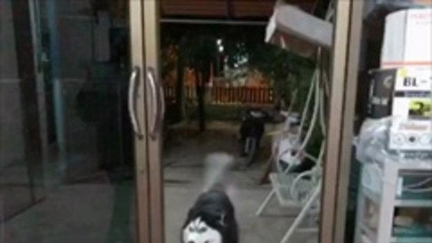 สุดฮา !! เมื่อ เจ้าไซบีเรียน ฮัสกี้ เรียกเจ้าของเปิดประตูให้ แต่ประตูไม่มีกระจก