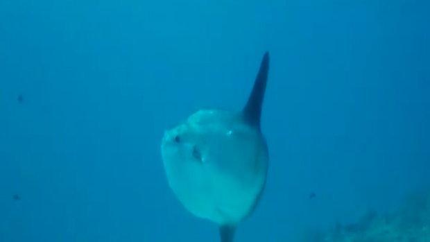 อึ้ง...พบปลา Mola mola ปลาในตำนานของนักดำน้ำ โผล่บริเวณกองหินบาลากูด้า หมู่เกาะสิมิลัน