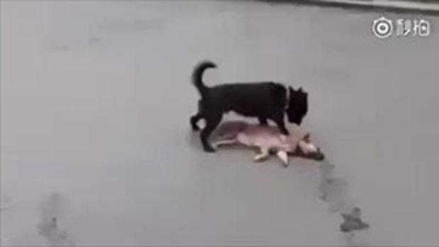ปวดใจ! สุนัขพยายามช่วยเพื่อนโดนรถทับ