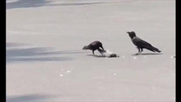 ลางร้าย!! อีกา 2 ตัว รุมกิน นกพิราบ เละ หน้า ทำเนียบฯ