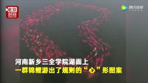 ชาวเน็ตจีนฮือฮา ฝูงปลาในทะเลสาบว่ายน้ำเป็นรูปหัวใจ