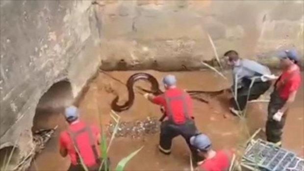 ลุ้นตัวเกร็ง! นาทีจนท.ช่วยกันจับงูอนาคอนด้า เกือบโดนฉก สุดท้ายเป็นยังไง