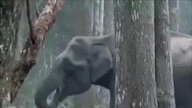 งงกันทั่วหน้า ช้างป่าอินเดียกินถ่าน พ่นควันฟุ้งคล้ายสูบยา