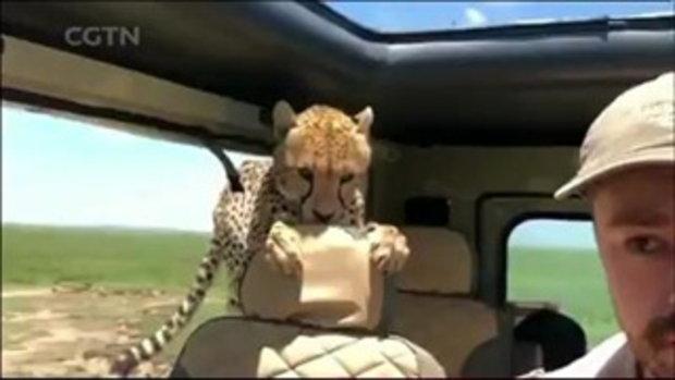 นาทีชีวิต เสือชีตาห์กระโดดขึ้นไปอยู่เบาะหลังของรถซาฟารี