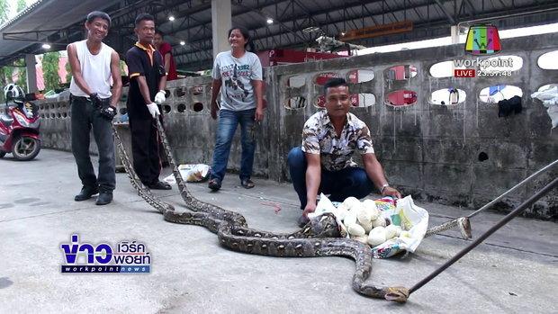 งูเหลือมยักษ์ 2 ตัวนอนฟักไข่ในโพรงไม้ |ข่าวเวิร์คพอยท์| 3 เม.ย. 61