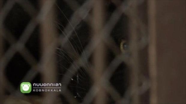 กบนอกกะลา : เสือดำ หัวใจของผืนป่า ช่วงที่ 3/4 (26 เม.ย.61)