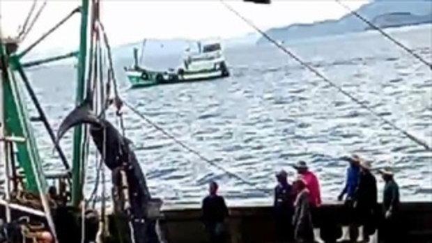 สะเทือนใจ! คลิปเรือประมงล่าโหด 'ฉลามวาฬ' นทท.กดดันให้ปล่อย