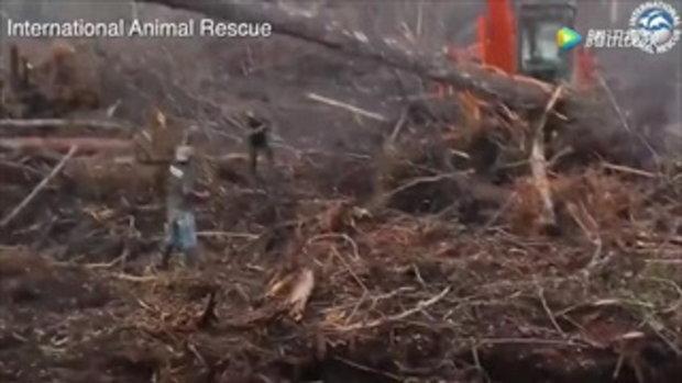 สะเทือนใจ อุรังอุตังเสี่ยงชีวิตขวางรถขุดดินกำลังทำลายป่าบนเกาะบอร์เนียว