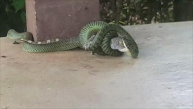 เปิดนาทีสุดสะพรึง! ใครว่างูเขียวกินแค่ตับตุ๊กแก ต้องดูคลิปนี้