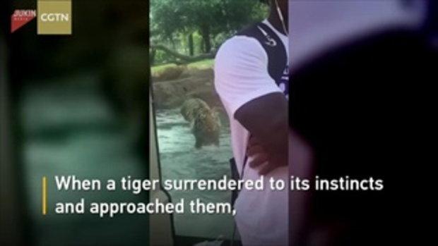 เสือโคร่งลูกผสมย่องเงียบ หวังตะครุบนักท่องเที่ยวในสหรัฐฯ แต่เจออุปสรรคใหญ่