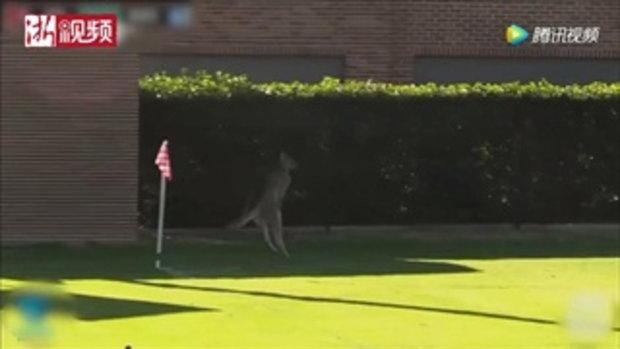 ขอเล่นด้วยสิ...จิงโจ้หนีทุ่งหญ้าบุกป่วนสนามฟุตบอลที่ออสเตรเลีย