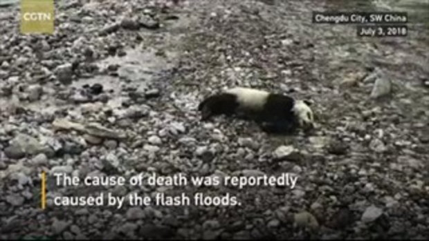 ชาวเน็ตจีนห่วง แพนด้าจมน้ำตาย นักวิชาการชี้ธรรมชาติคือเกราะป้องกันที่ดีที่สุด