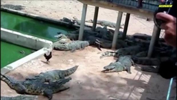 เมื่อ ไก่ หลุดลงไปในบ่อ จระเข้ จะเกิดอะไรขึ้น