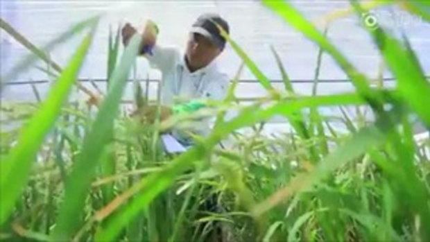 ล้ำไปอีกขั้น นักวิทย์ฯ จีนพัฒนาข้าวจนปลูกในทะเลทรายได้สำเร็จ
