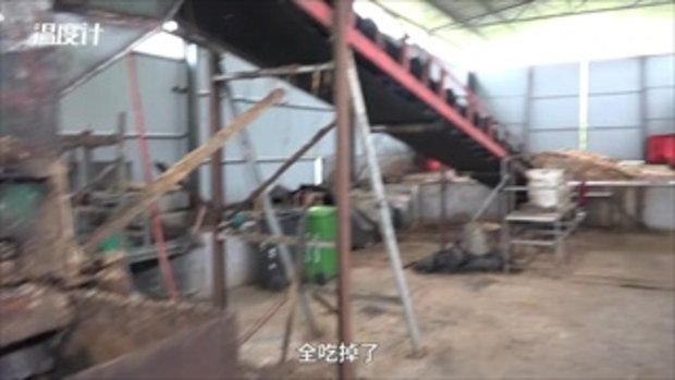 ขนลุกซู่ จีนกำจัดขยะด้วยกองทัพแมลงสาบกว่า 300 ล้านตัว