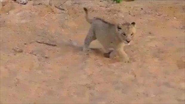 น่ารัก! ลูกสิงโตคำรามได้มุ้งมิ้งมาก