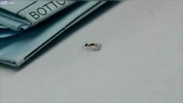 ANT-MAN  ของจริง เมื่อ มด โชว์พลัง ยกเพชร